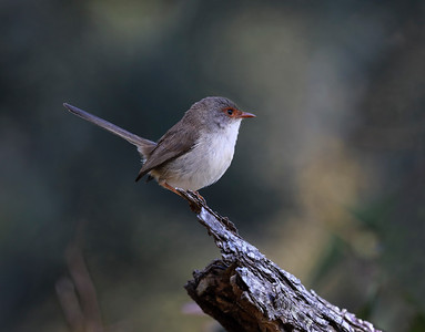 Superb Fairy-wren,female - 4699