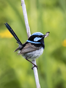 Superb Fairy-wren,male_9444