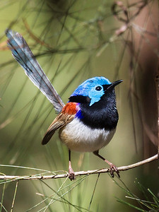 Variegated Fairy-wren, male_134