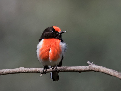 Red-capped Robin, male_9147