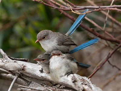 Splendid Fairy-wren - 8880