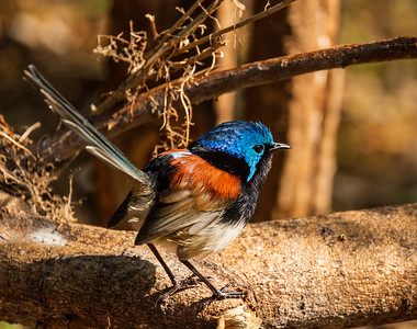 Red-winged Fairy-wren_529