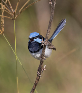 Superb Fairy-wren - 4943