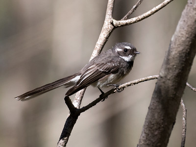 Grey Fantail_9379
