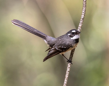 Grey Fantail - 8711
