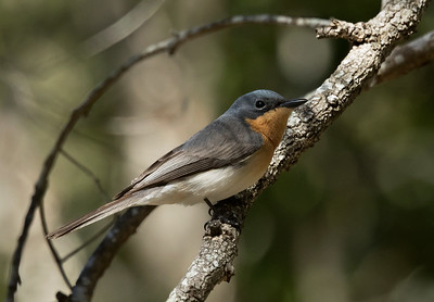 Leaden Flycatcher,female- 2070