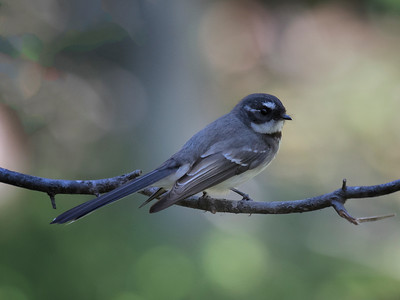 Grey Fantail_3752