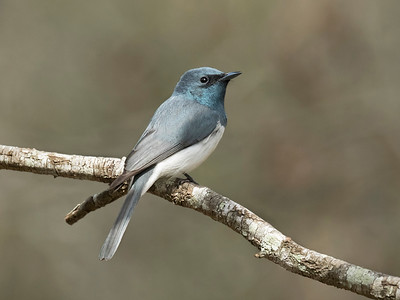 Leaden Flycatcher,male_2217