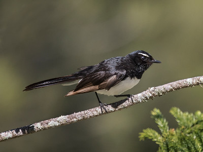 Willy Wagtail_8553