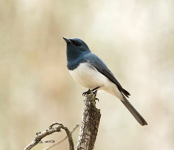 Leaden Flycatcher,male - 2124