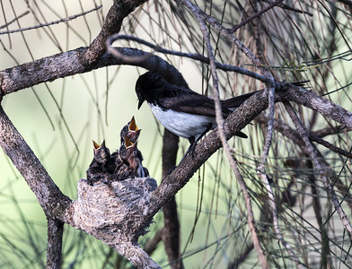 Willy Wagtail - 9632