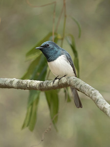 Leaden Flycatcher,male_2173