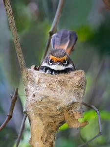 Rufous fantail on nest_9032