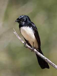 Willie Wagtail - 6139