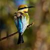 Rainbow Bee-eater_0340