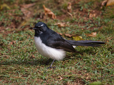 Willy Wagtail_6395