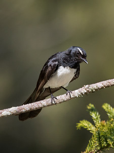 Willie Wagtail -