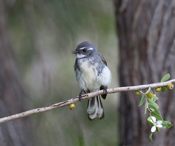Grey Fantail - 9164