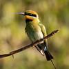 Rainbow Bee-eater_0562