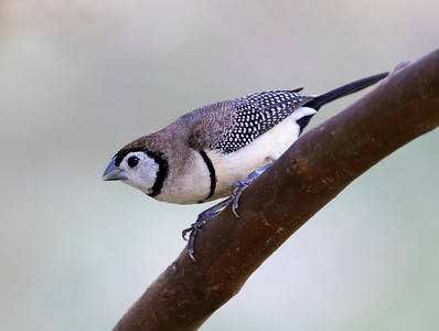 Double-barred Finch - 8031