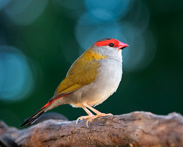Red-browed Finch - 5846