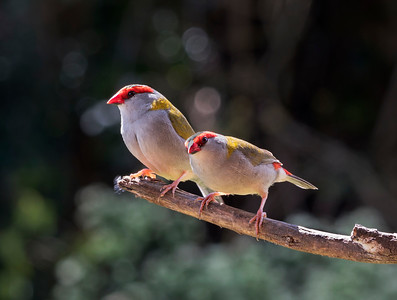 Red-browed Finch - 5877