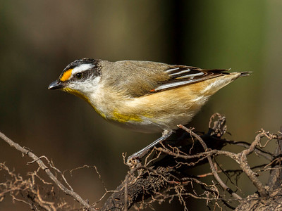 Striated Pardalote_0663