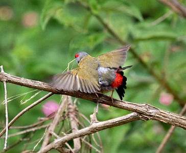 Red-browed Finch,mating - 1112