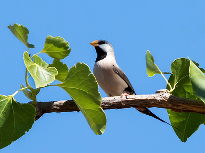 Long-tailed Finch_0143