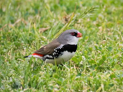 Diamond Firetail_0724