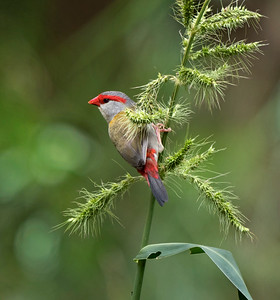 Red-browed Finch  - 1674