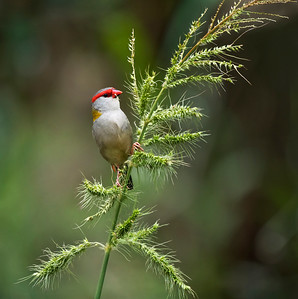 Red-browed Finch - 1684