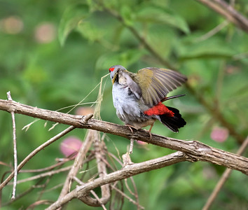 Red-browed Finch,mating - 1109