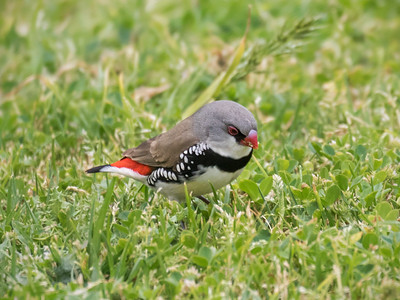 Diamond Firetail_0722