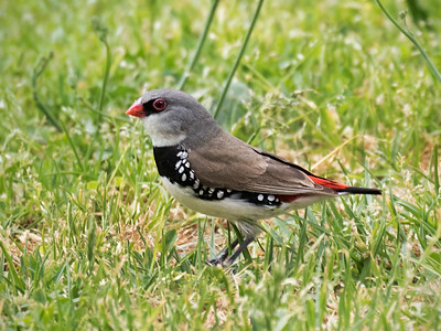 Diamond Firetail_0751