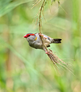 Red-browed Finch - 1701