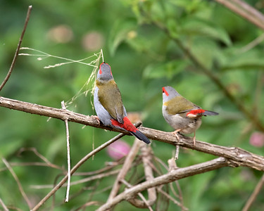 Red-browed finch - 1103