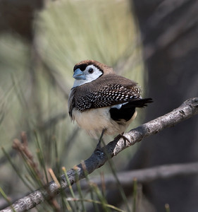 Double-barred Finch - 5557