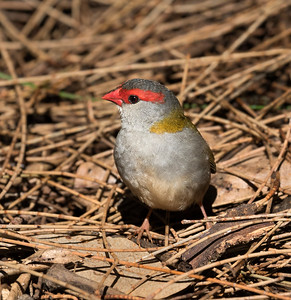 Red-browed Finch _7601