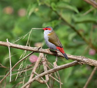 Red-browed Finch,male - 1097