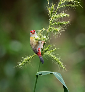 Red-browed Finch - 1678