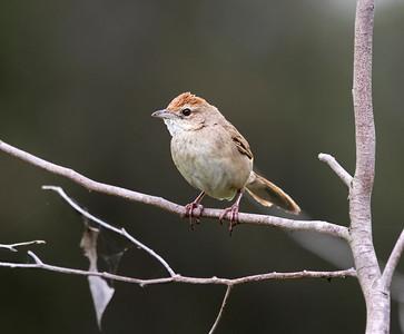 Tawny Grassbird - 9388