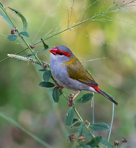 Red-browed Finch - 4974