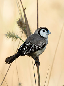 Double-barred Finch_4681