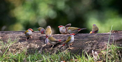Red-browed Finch - 6389