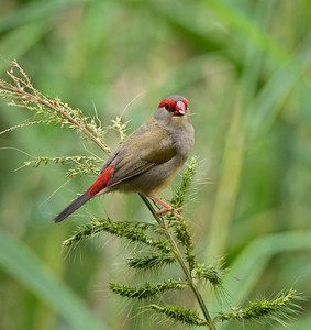 Red-browed finch - 1718