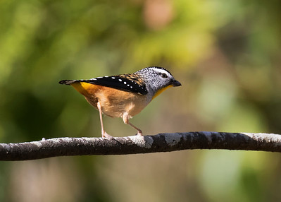 Spotted Pardalote  - 3231