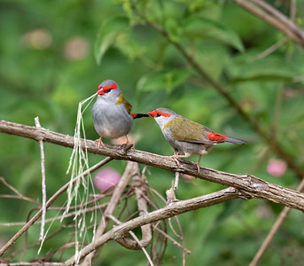 Red-browed Finch - 1126
