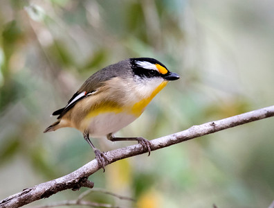 Striated Pardalote - 3587