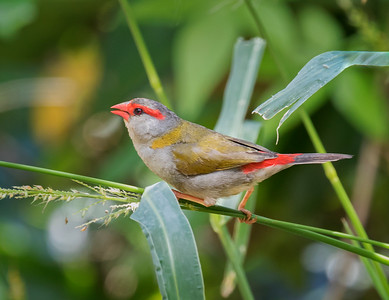 Red-browed Finch_0709